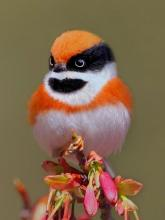 Black-Throated Bushtit With The Funny Name