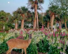 Culling The Herd Versus Contraception For Deer On Fripp Island