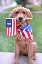 Flag Day Puppy