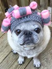 Beauty Shop Pug