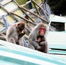 Second Mass Monkey Escape Has Local Residents Going Bananas