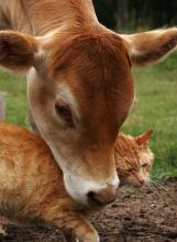 Cow-Loving Cat