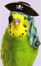 Pirate Parakeet