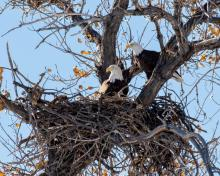 Bald Eagles' Nest