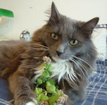 Catnip Attracts Most Kittehs, Also Repels Mosquitoes