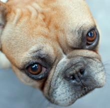 Le Bark: 10 Photogenic French Bulldogs Guaranteed To Steal Your Heart