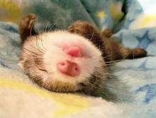 Funny Ferret Face
