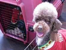 Toy Poodle Joins Japan's Top Cop Dogs, Takes A Big Bite Out Of Crime