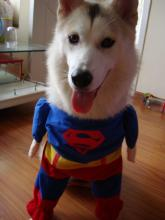 Cute Cheap Superman Suit For Canine Crime-fighters On A Budget