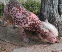 Stray Pink Chinese Crested Hairless Dog