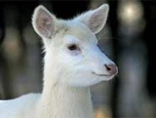 Rare Pair Of White Deer Brighten Up Ontario Backyard