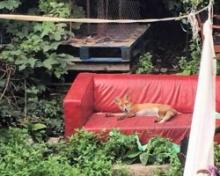 Sofa, So Good: Red Fox Caught Napping On Red Couch