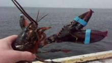 Three-Clawed Lobster Grabs Limelight With A Handy Extra Claw