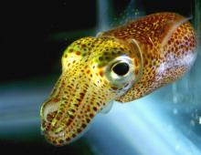 Squid Skin, the All-Natural Eco-Friendly Anti-Aging Supplement