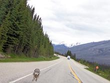 Uneasy Rider Chased By Wolf On Alberta Highway