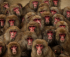 Monkeys Have Speech-ready Voice Boxes, But Not Speech-ready Brains