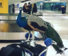 L'Affaire Dexter Pecks Away At Airline Comfort Animal Rulings