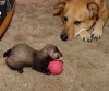 Ferret Fetch