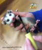 Opposum relaxes with mascara brush cleaning