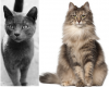 What's The Difference Between A Feral Cat & Norwegian Forest Cat?