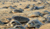 During COVID-19, Olive Ridley Turtles Survival Rate Up In India